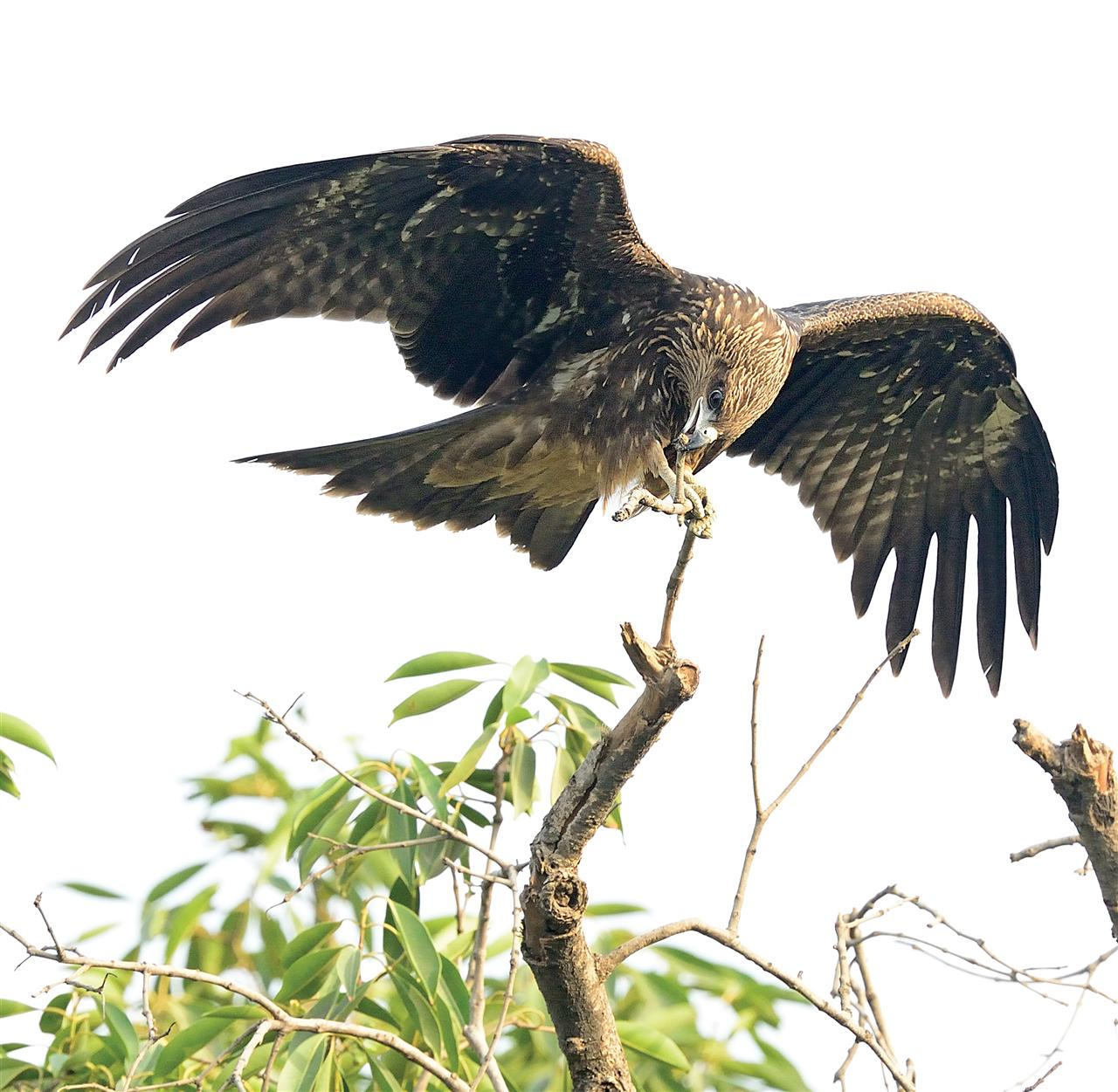 Black-eared Kites are common in the Western, central and Eastern Himalayas. In winter, migrant birds appear in North India and the Peninsula up to Karnataka and Andhra Pradesh