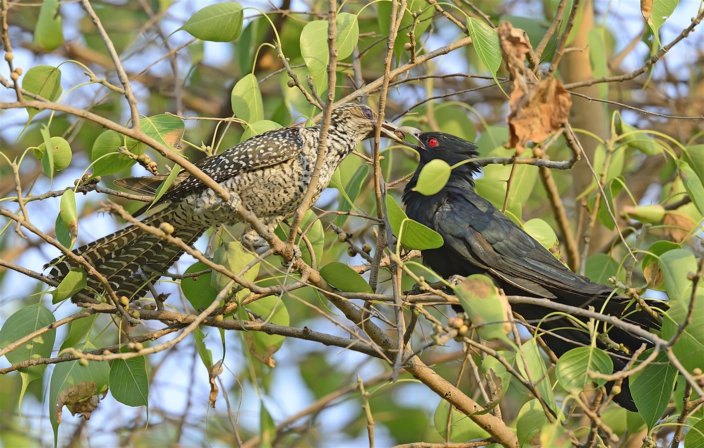 'Indian Koels in Courtship' - They are quite common in the President's Estate, but are heard more often than they are seen.