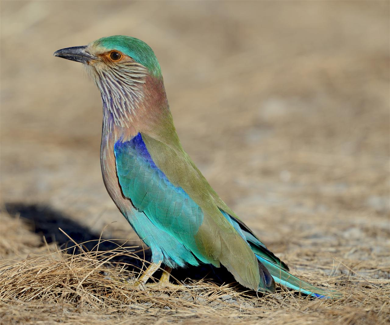 They are spotted rarely in the President's Estate. Only one Indian roller was spotted in the Dalikhana.