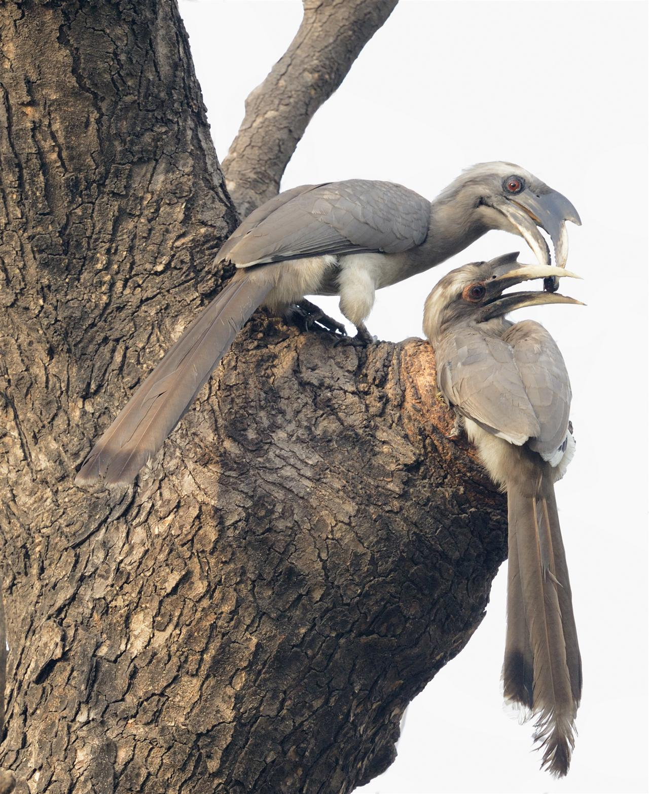 'In courtship perched over nest' - They are very common in the President's Estate.