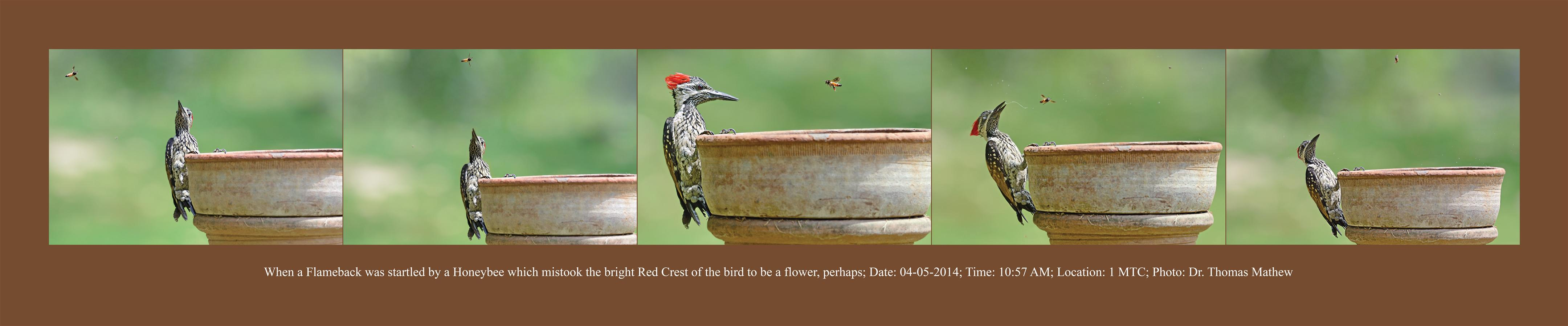When a Flameback was startled by a Honeybee which mistook the bright Red Crest of the bird to be a flower, perphaps.