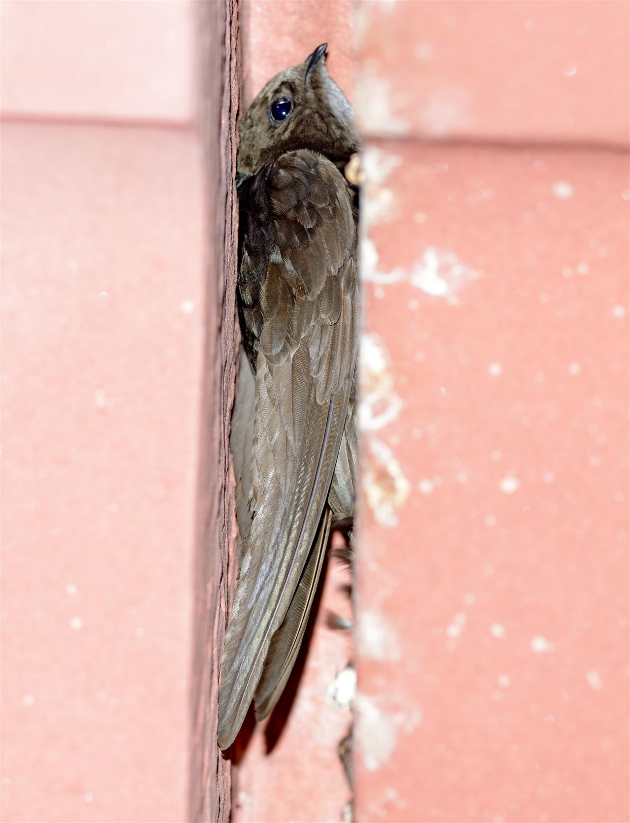 Hundreds of Dusky Crag-Martin have built nests in the southern entrance of the main building of the Rashtrapati Bhavan and have been residing there for decades.