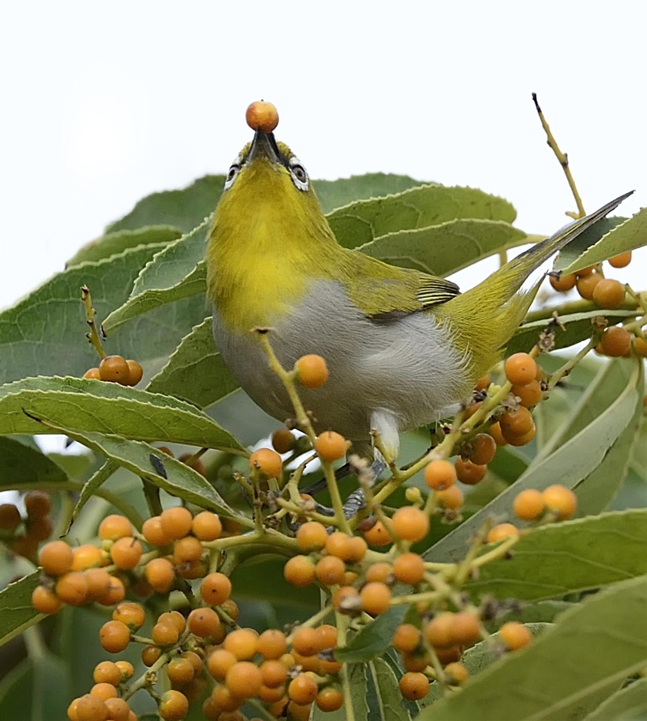 They are common in the President's Estate and can be seen in large flocks on smaller to medium sized trees.