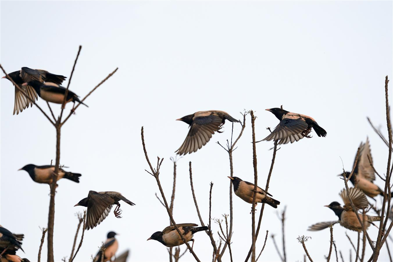 They can be seen perching in large numbers on fruit trees in the Estate during the months when they pass through Delhi.