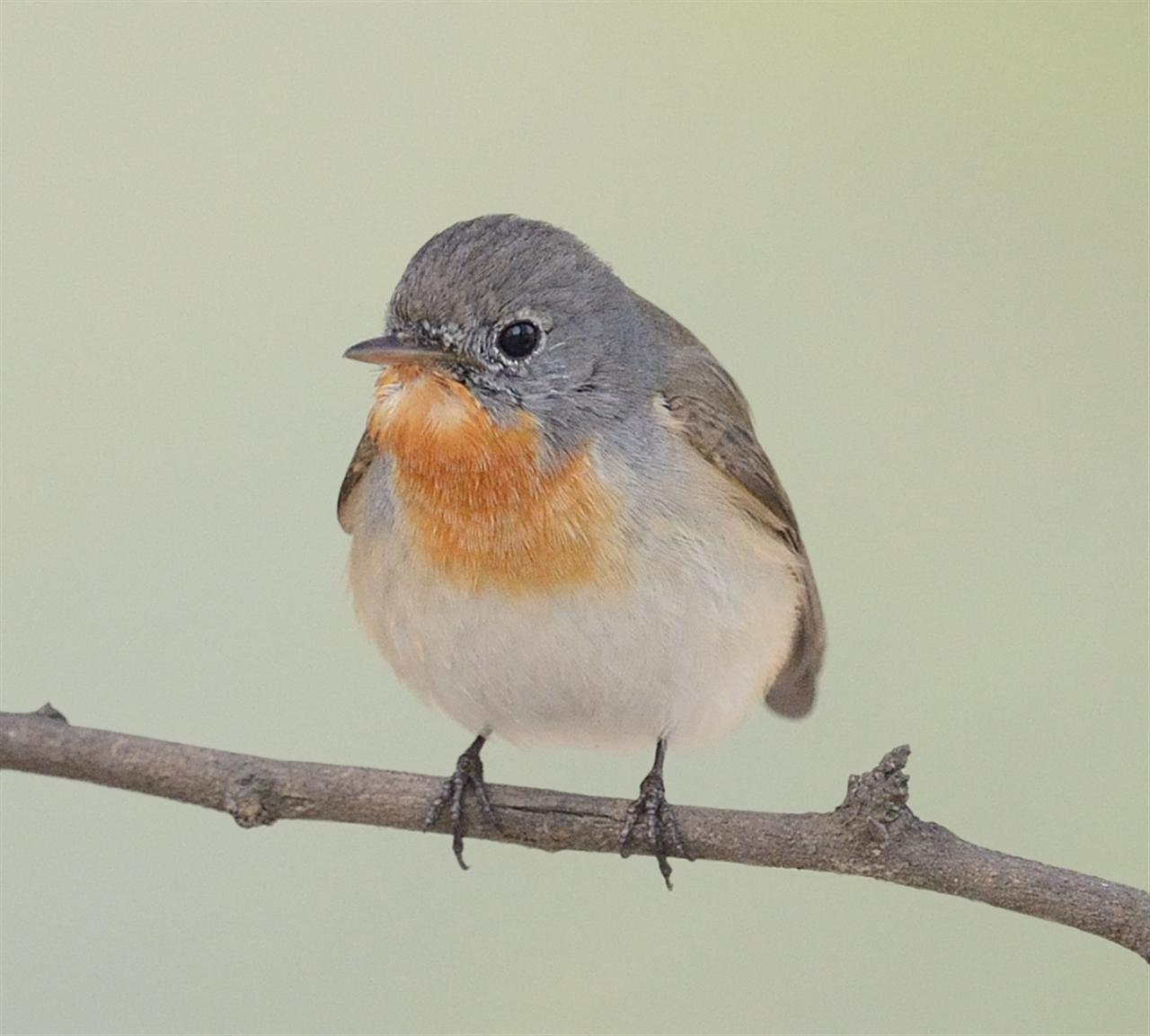 They are seen more frequently than the Asian Brown Flycatcher. During winter months, they are commonly seen diving for flies in the woody area contiguous to the Gold ground in the President's Estate.